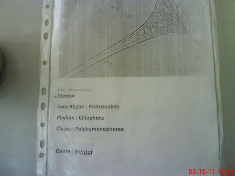 Zoologie - TP n ° 1 : PHYLUM DES PROTOZOAIRE Dsc02410