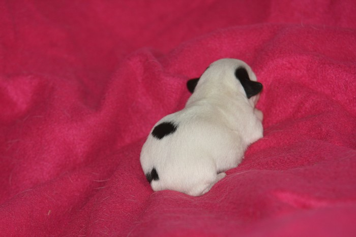 A réserver chiots jack russell N/Loof Chiotp14