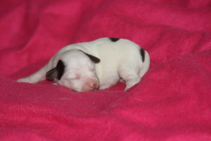 A réserver chiots jack russell N/Loof Chiotp15