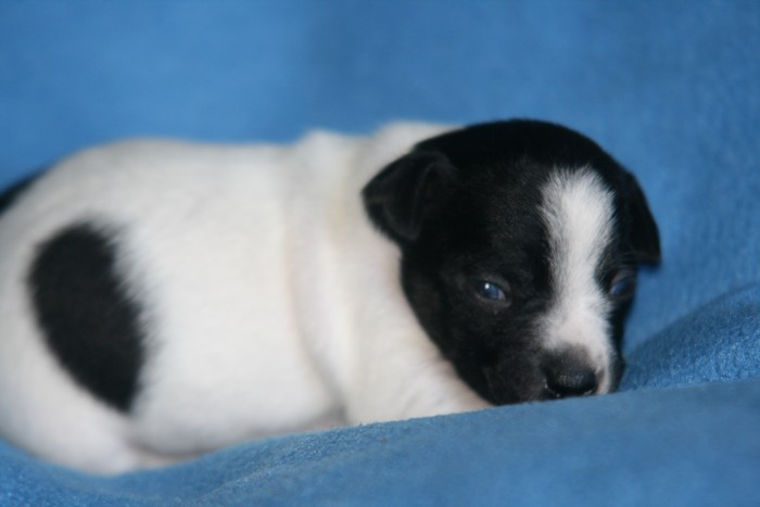 A réserver chiots jack russell N/Loof Chiotp21