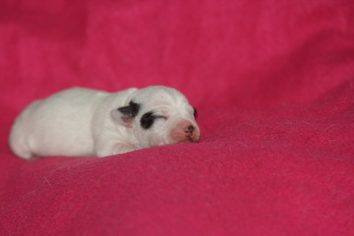 A réserver chiots jack russell N/Loof Chiots10