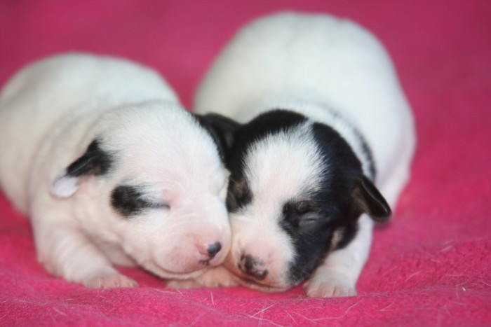 A réserver chiots jack russell N/Loof Chiots13
