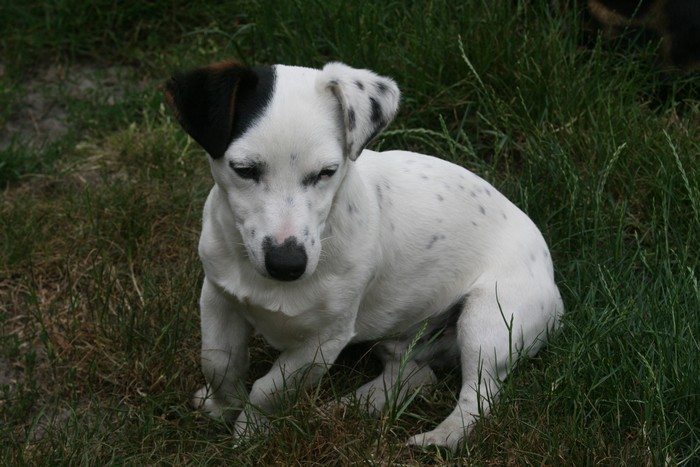 A réserver chiots jack russell N/Loof Zaz24010
