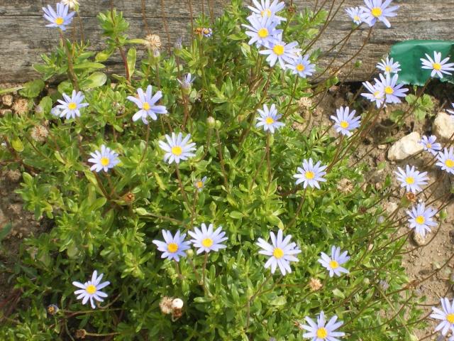 Felicia amelloïdes, Aster du Cap, Agathea caelestis Dscfle13