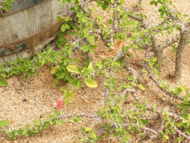 Euphorbia milii des Moul imperateae Euphob10