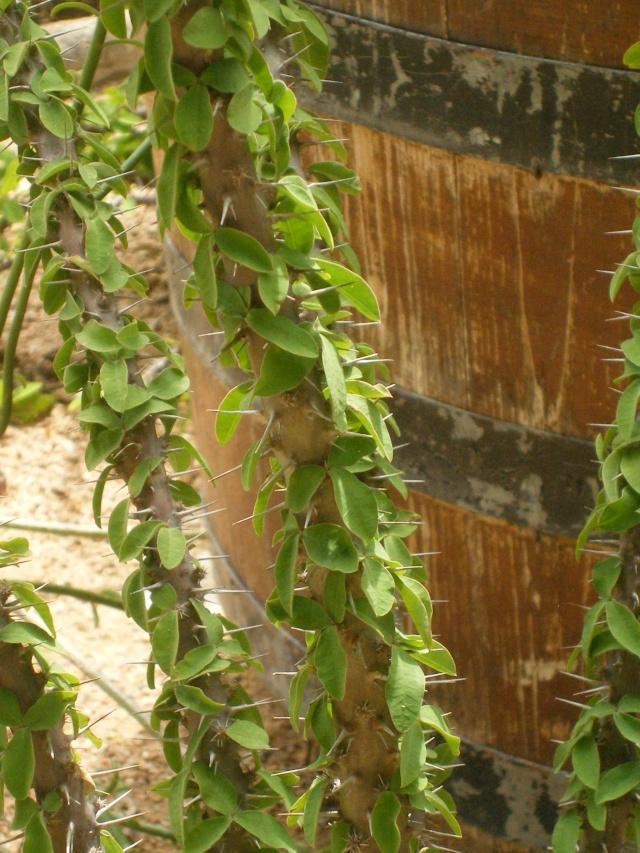Euphorbia milii des Moul imperateae Euphor11