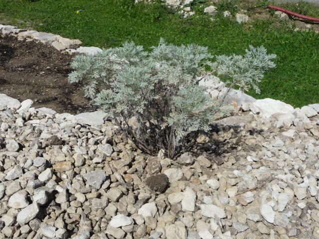 Artemisia, ou Armoise P1150235