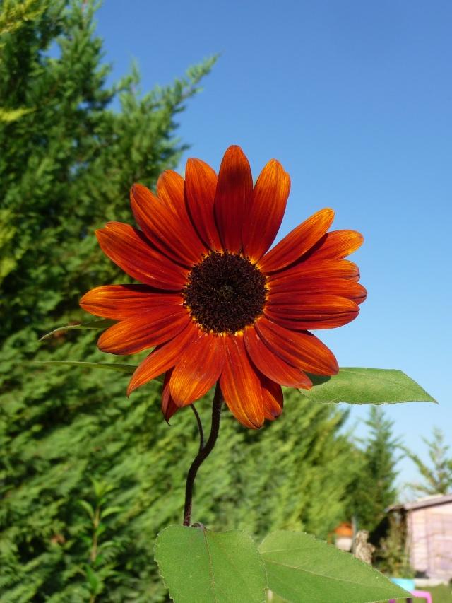 Tournesol rouge, Soleil rouge P1150324