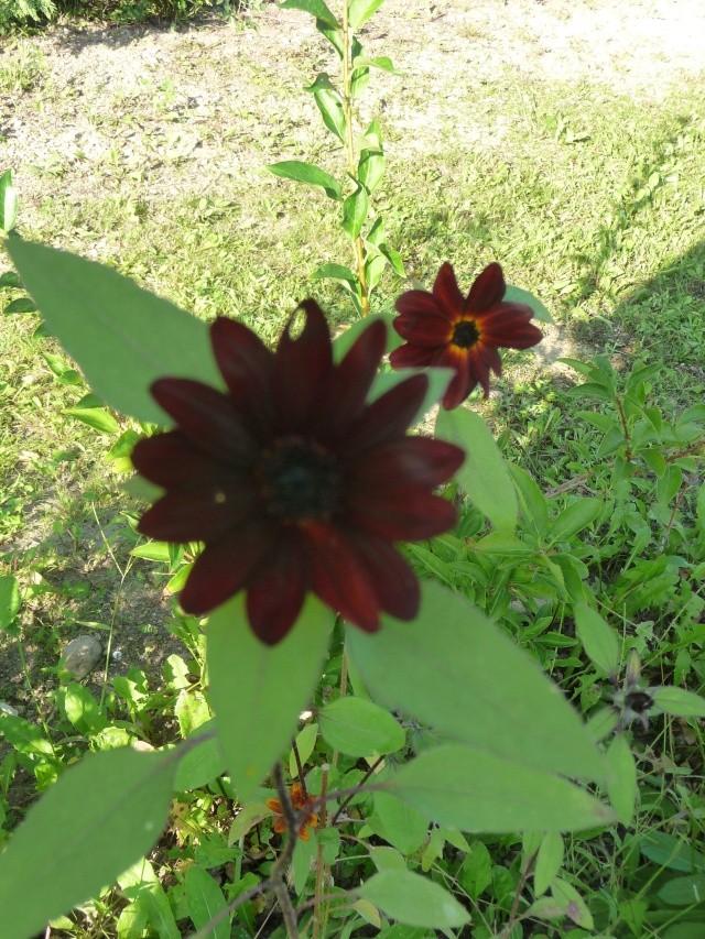 Tournesol rouge, Soleil rouge P1150325