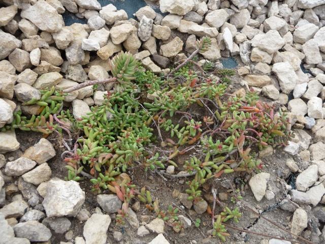 Les Sedums qui rougissent à l'automne! P1150517