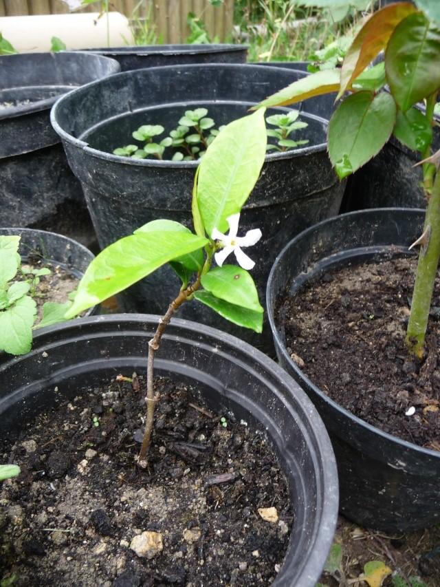 Grimpante à identifier : Trachelospermum, jasmin étoilé P1150518