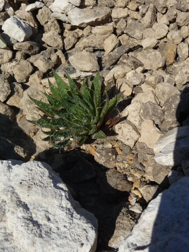 Cactées en rocaille P1150631