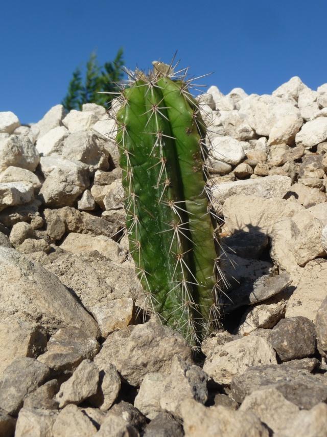 Cactées en rocaille P1150632