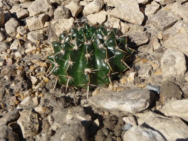 Cactées en rocaille P1150636
