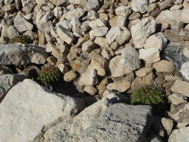 Cactées en rocaille P1150638