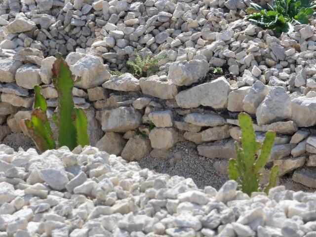 Cactées en rocaille P1150724