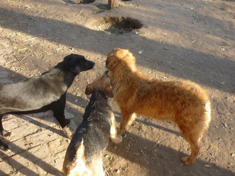 KAYAN, M-X fox terrier,  taille moyenne, né 2009 (Etela) - Pris en charge SPA Morée P1060052