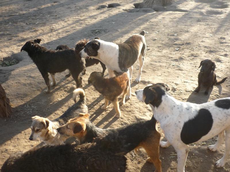 KAYAN, M-X fox terrier,  taille moyenne, né 2009 (Etela) - Pris en charge SPA Morée P1060053