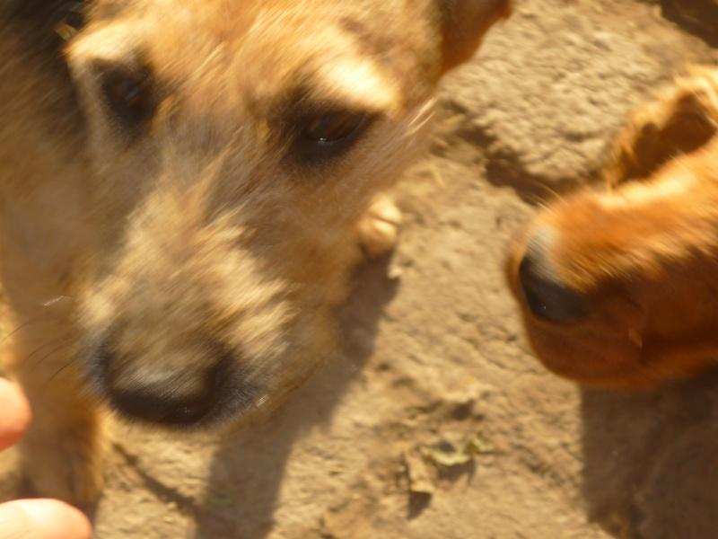 KAYAN, M-X fox terrier,  taille moyenne, né 2009 (Etela) - Pris en charge SPA Morée P1060054