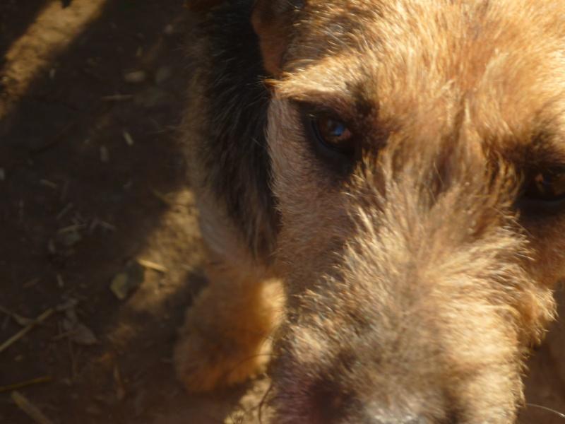 KAYAN, M-X fox terrier,  taille moyenne, né 2009 (Etela) - Pris en charge SPA Morée P1060055
