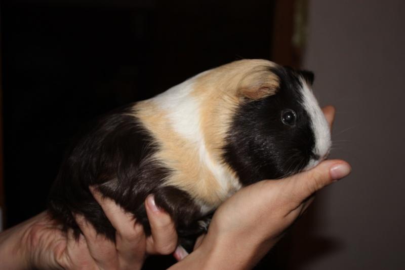 Le cochon d'inde vieillissant... Bamboue 01710