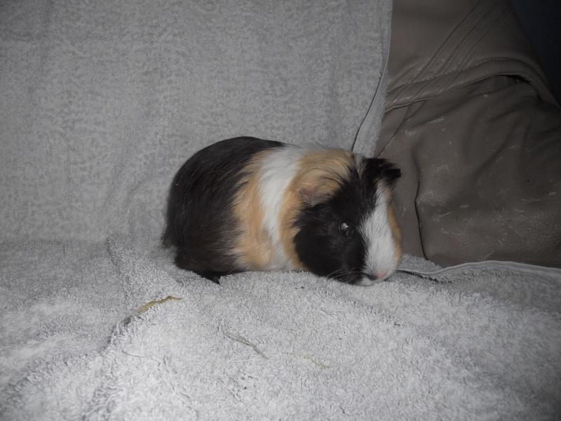 Le cochon d'inde vieillissant... Bamboue Dscn3310
