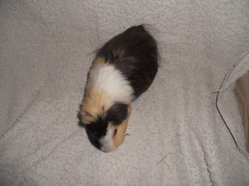Le cochon d'inde vieillissant... Bamboue Dscn3312