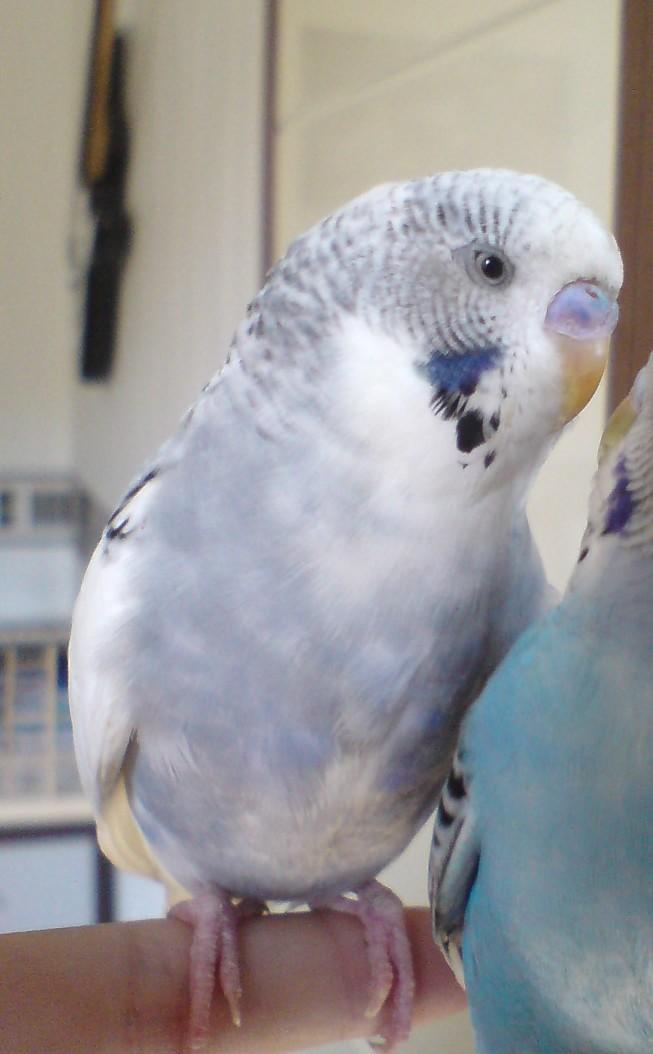 Les yeux des perruches.  8710