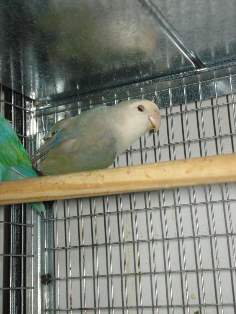 plumage bizarre Elevag10