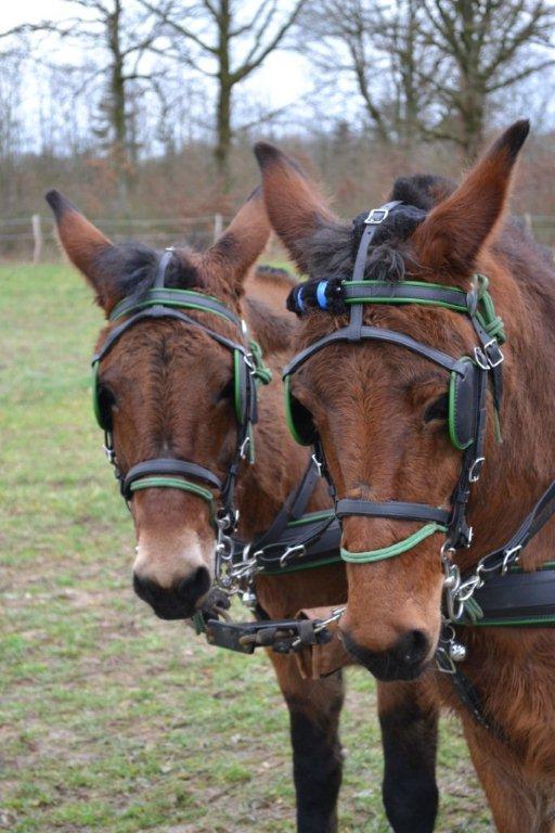 recherche 2 mules ou mulets pour un futur attelage à 4 ! Copie_11