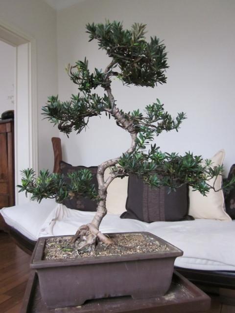podocarpus Noel_215