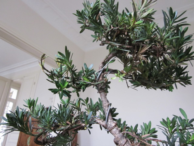 podocarpus Noel_216