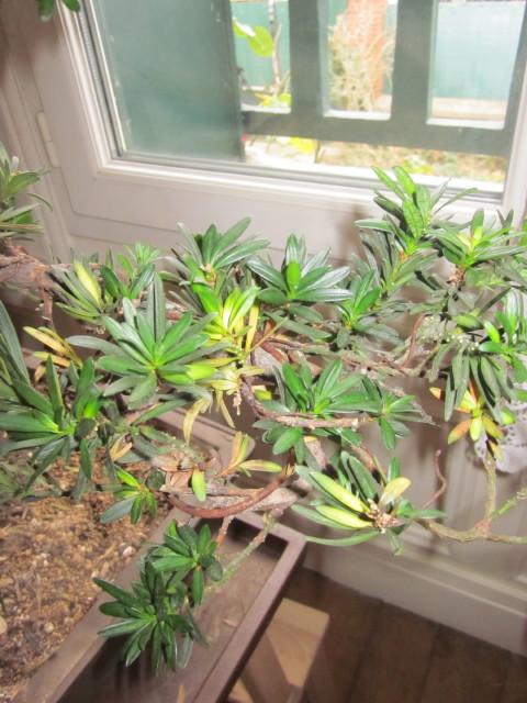 podocarpus Noel_234