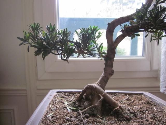 podocarpus Noel_236