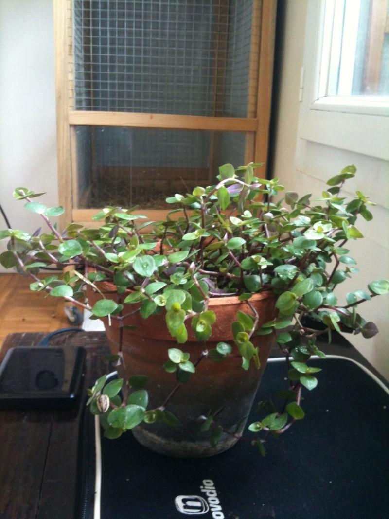 Une plante qui plait à mes Kakariki Img_0610