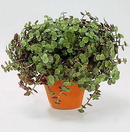 Une plante qui plait à mes Kakariki Produc10