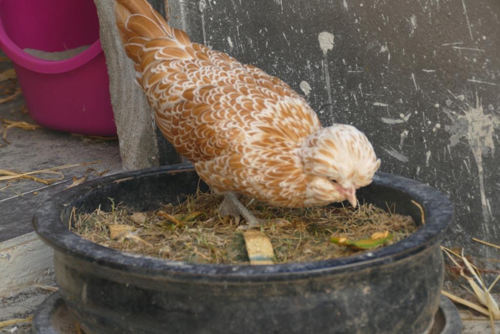 Mes poulettes  P1180511