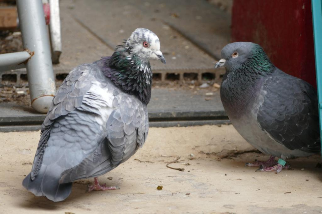 Hélios, le pigeon P1180810
