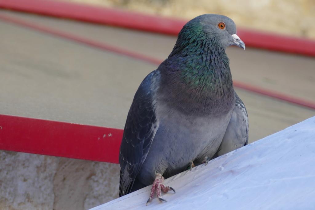 Hélios, le pigeon P1180910