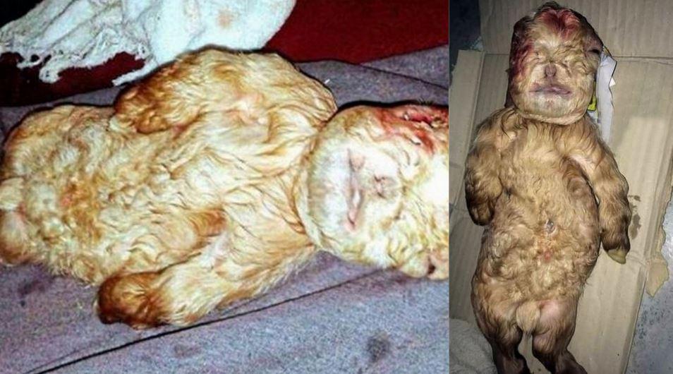 EXPÉRIENCES DIABOLIQUES : Des hybrides mouton-humain ont été développés en laboratoire ! Chzov10