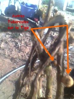 [agri.] Cultiver des patates sur son balcon 01-01-11