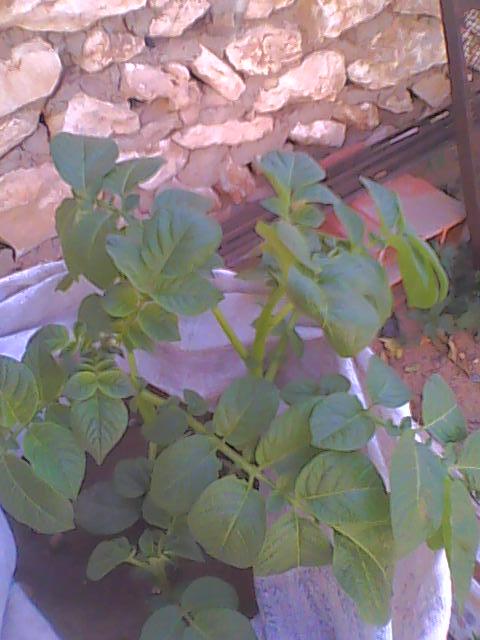 [agri.] Cultiver des patates sur son balcon 19-12-12