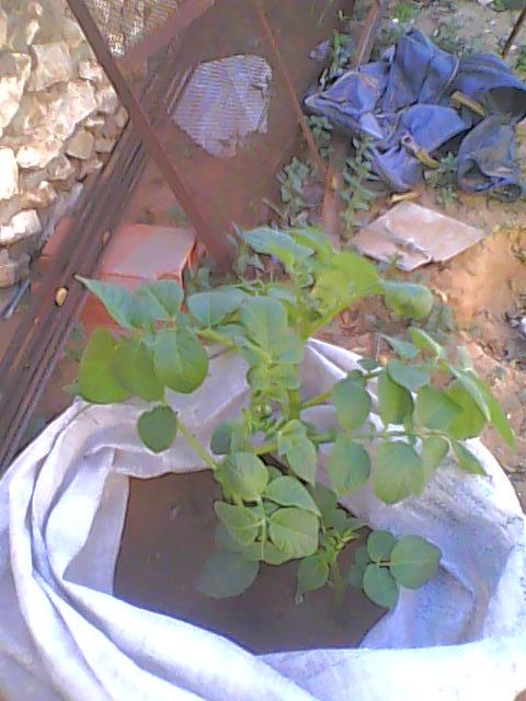 [agri.] Cultiver des patates sur son balcon 19-12-13