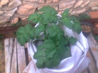 [agri.] Cultiver des patates sur son balcon 23-12-12
