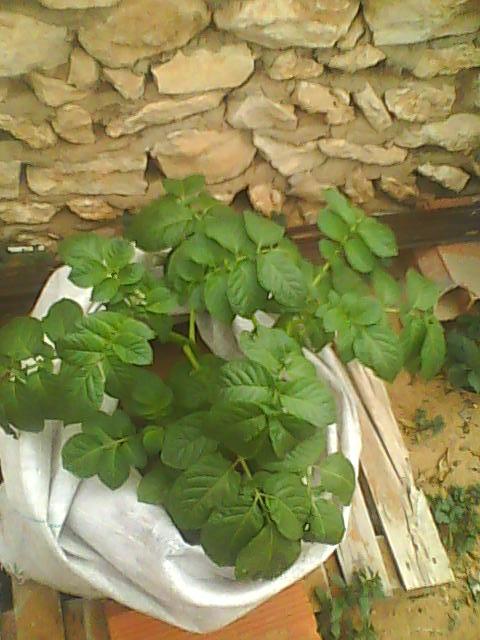 [agri.] Cultiver des patates sur son balcon 27-12-10