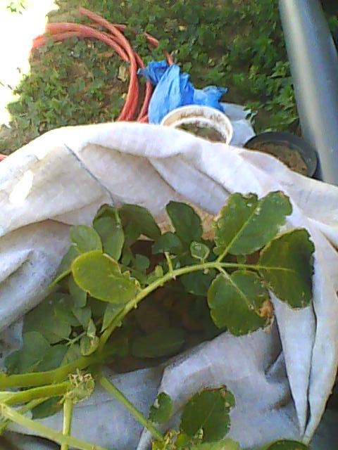 [agri.] Cultiver des patates sur son balcon D0208_10