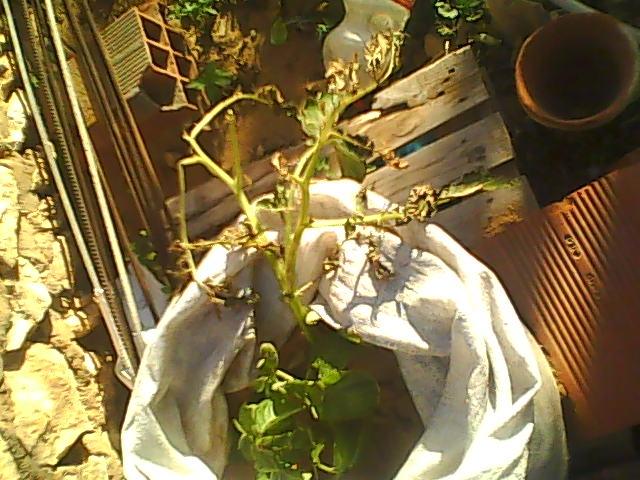 [agri.] Cultiver des patates sur son balcon D0223_10