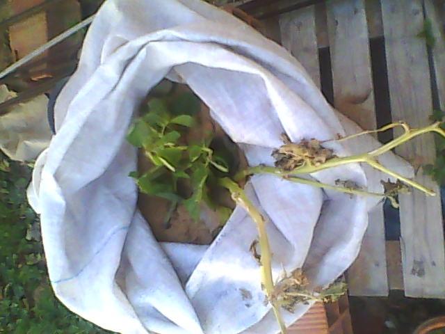 [agri.] Cultiver des patates sur son balcon D0226_12