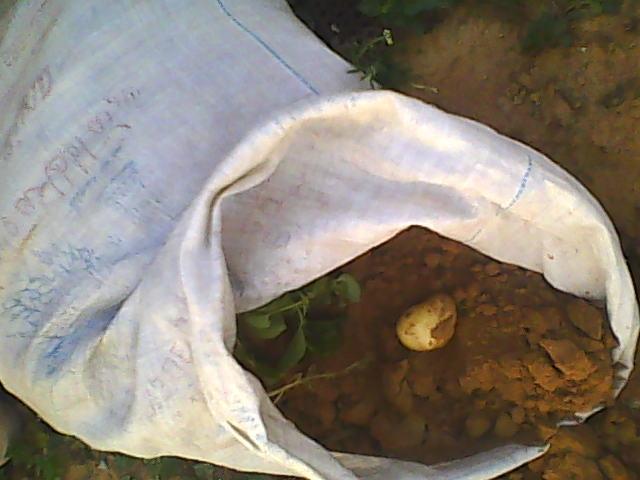 [agri.] Cultiver des patates sur son balcon D0226_13