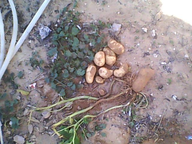[agri.] Cultiver des patates sur son balcon D0226_14